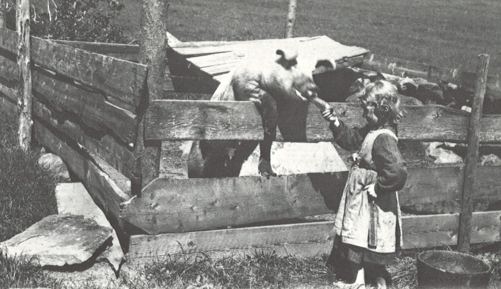 Historic photograph of a young girl feeding a large pig.